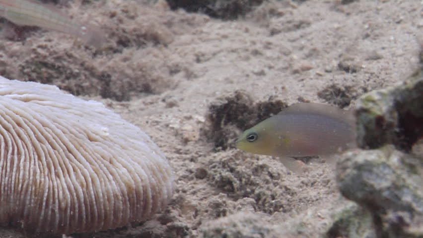 Brown dottyback feeding, Pseudochromis fuscus HD, UP19080