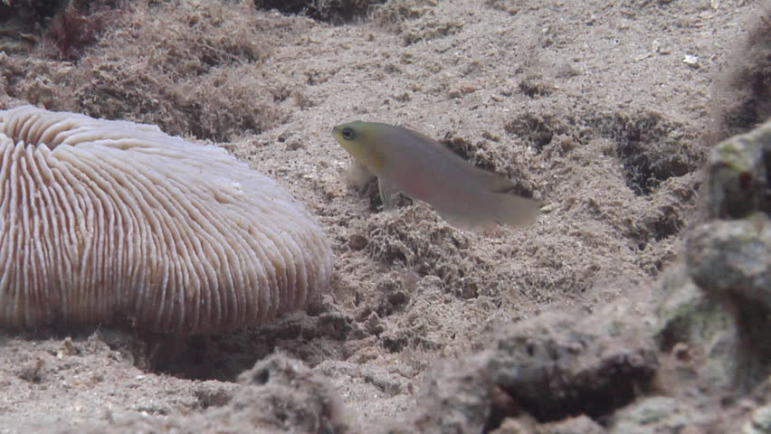 Brown dottyback swimming, Pseudochromis fuscus HD, UP19086