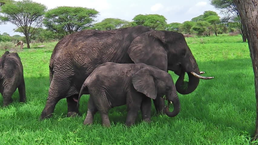 Mother and baby elephant eating grass in Tarangire National Park in Tanzania, Africa.