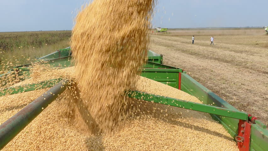 Combine harvester transferring freshly harvested soybean to tractor-trailer for transport