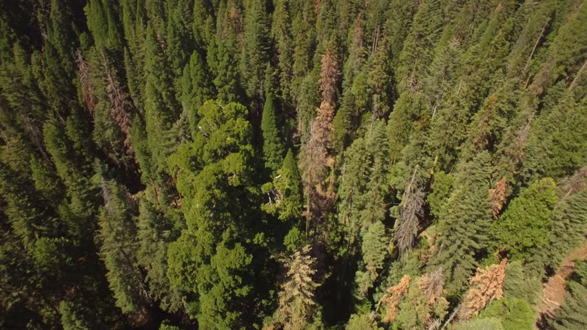Aerial shot revolving around a huge sequoia tree in the Sierra National Forest. Slowly pans up while revolving to reveal the surrounding landscape. Multi-colored trees; green, orange, red, yellow.