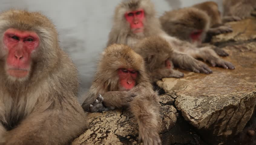wild japanese macaques or snow monkeys in a hot spring footage panning from right to left showing many monkeys doing different activities. jigokudani,nagano, japan.