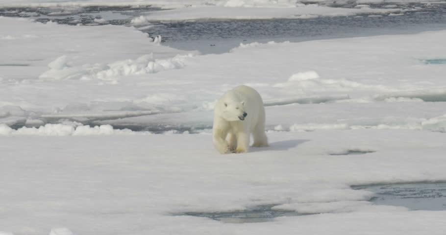 Polar Bear walking on broken sea ice  Long shot of Polar Bear walking on broken sea ice