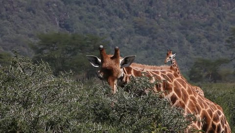 Rothschild's Giraffe, giraffa camelopardalis rothschildi, Adult eating Acacia's Leaves, Nakuru Park in Kenya, Real Time