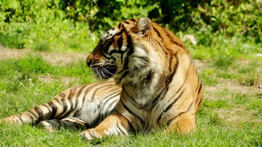385 best images about animals on Pinterest | Wolves, Red ... |Bengal Tiger Tired