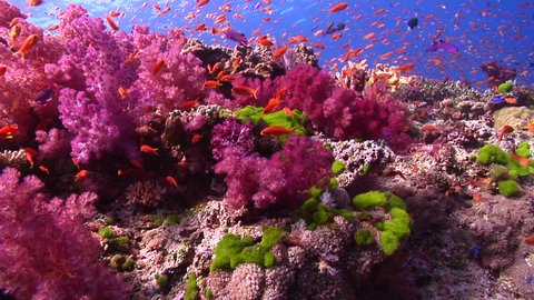Beautiful underwater scenery current, lots of dramatic action, on shallow coral reef, HD, UP17494