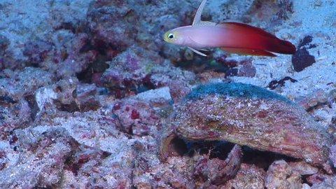 Fire dartfish swimming on rubble, Nemateleotris magnifica HD, UP17390