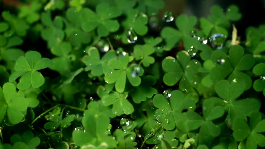 Clovers Being Watered Super Slow Motion