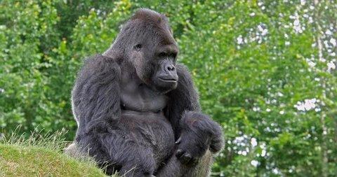 Eastern Lowland Gorilla, gorilla gorilla graueri, Male sitting, real Time 4K