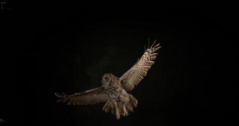 Eurasian Tawny Owl, strix aluco, Adult in Flight, Normandy, Slow motion 4K