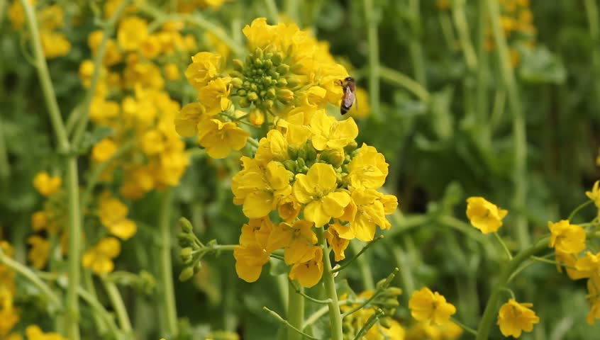 Bee in rape field