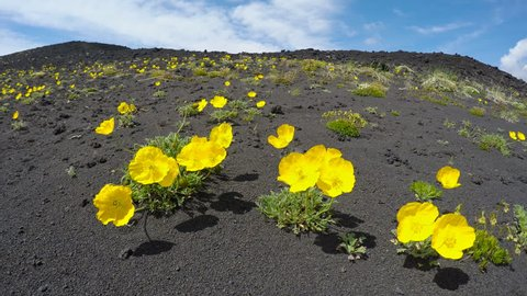 Wildlife Kamchatka Peninsula: yellow flowers Papaver microcarpum (Poppy family) growing on volcanic slag swaying in the breeze on a sunny day. Eurasia, Russian Far East, Kamchatka Region.