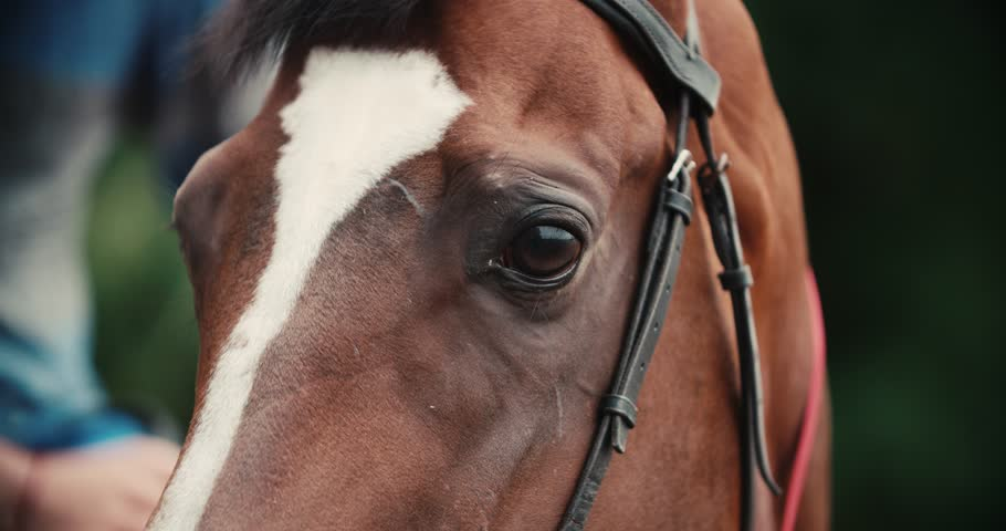 thoroughbred race horse brown extreme close-up face before a race, serious look, slow motion