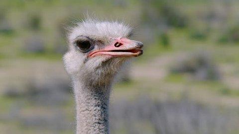 Ostrich looking around.