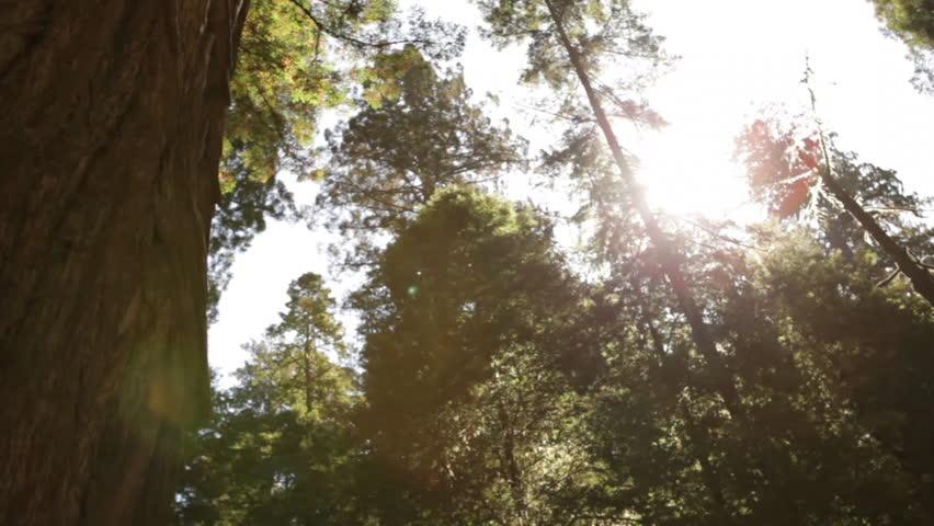 Tall pine trees against the sun
