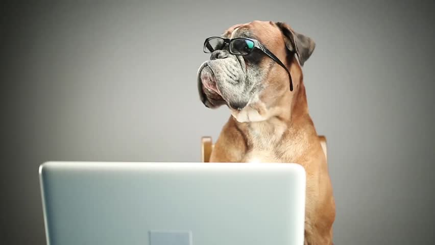 Boxer dog with eyeglasses looking at sth. on the laptop.