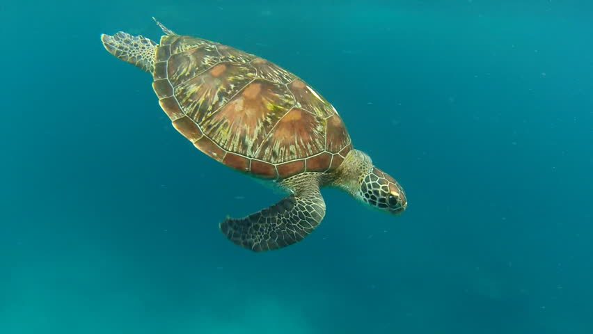 Sea turtle | Shutterstock HD Video #2052521