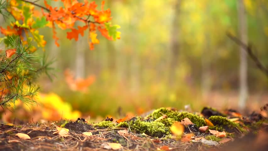 Nature backgrounds hd Full Hd Autumn Sunny Forest Background Park Beautiful Scene Forest With Sun Rays Golden Trees Moss And Fog Blurred Abstract Nature Background Full Hd 1080p Shutterstock Autumn Sunny Forest Background Park Stock Footage Video 100
