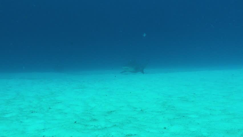 Bull Shark glides above sand