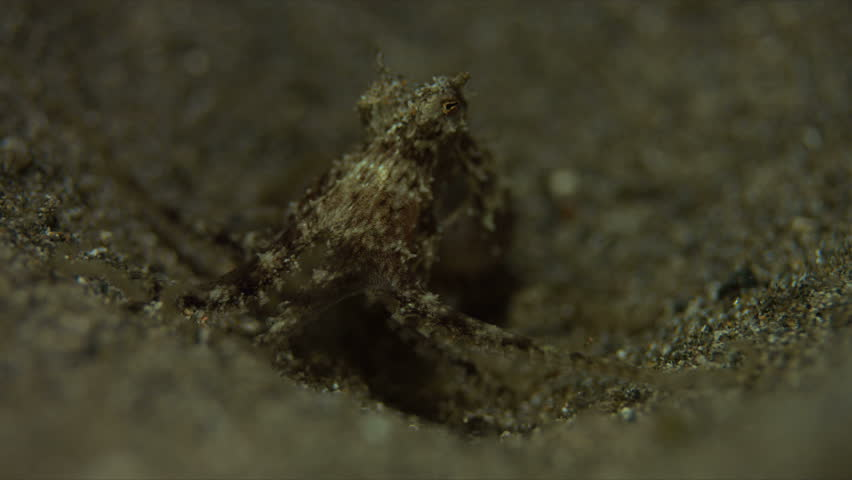 Small Octopus on sandy bottom. Catches some shrimps and fish. 4k footage #20660281