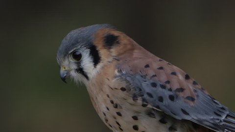 Kestrel in the forest close up of face