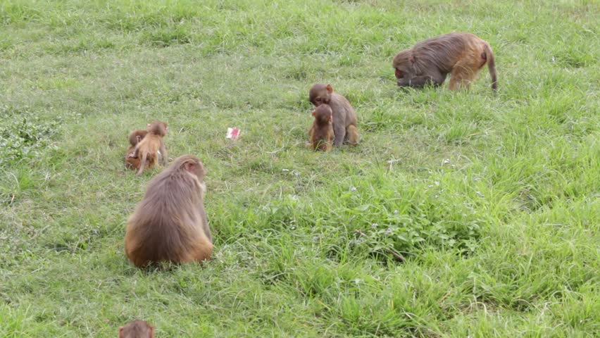 Macaque monkey in Pashupatinath Temple, Kathmandu. Nepal