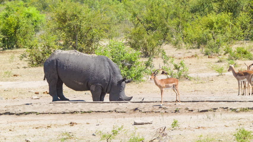 rhino capture at kruger national park Rhino post safari lodge offers guests a unique wilderness experience located in a 12 000 hectare private concession and with exclusive rights to some of the main roads in the kruger national park, rhino post can offer truly exclusive game viewing.