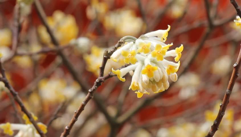 Oriental paper bush, yellow flower   Shutterstock HD Video #2099621