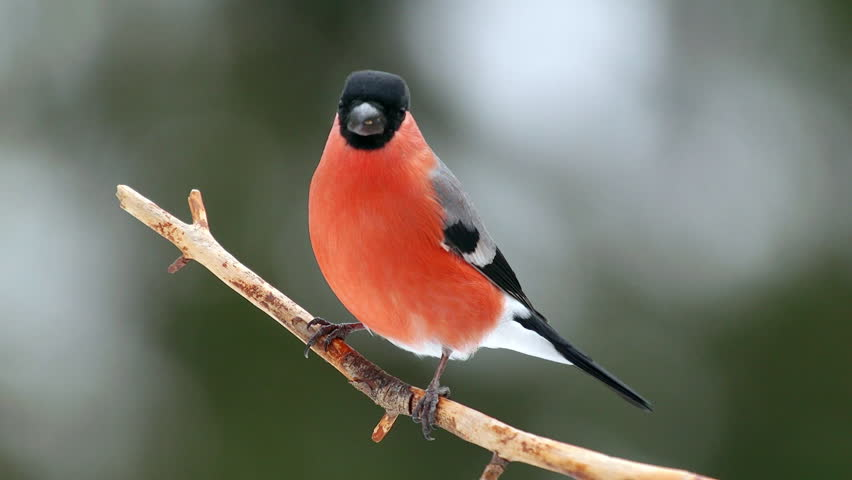 Bullfinch bird male perched on branch side view snowy weather