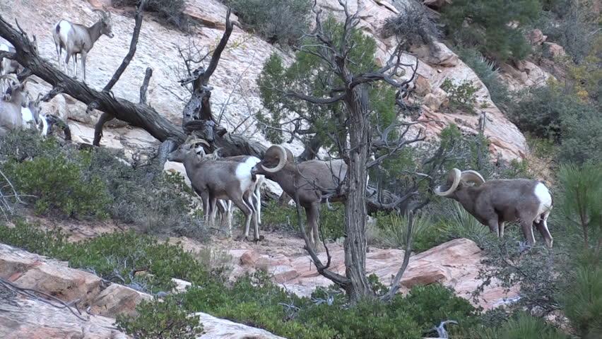 Desert Bighorn Rams Butting Heads In The Rut