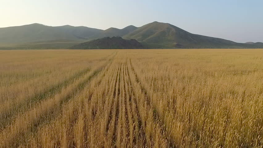 dry grass field background. Aerial View Of Organic Barley Field - HD Stock Footage Clip Dry Grass Background