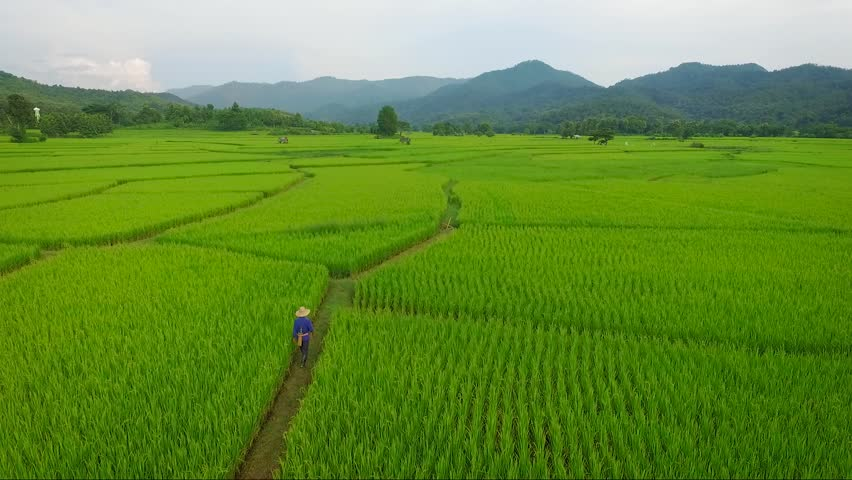 Aerial shot of Farmer walking in to rice field plantation. Drone fly up tilt down