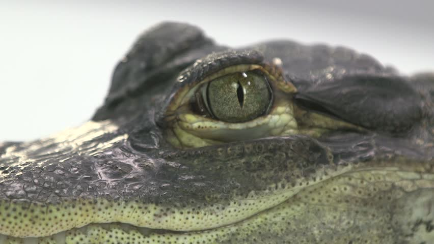 Cayman eye and face close up  | Shutterstock HD Video #21295351