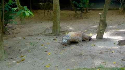 Komodo dragon reptile in zoo