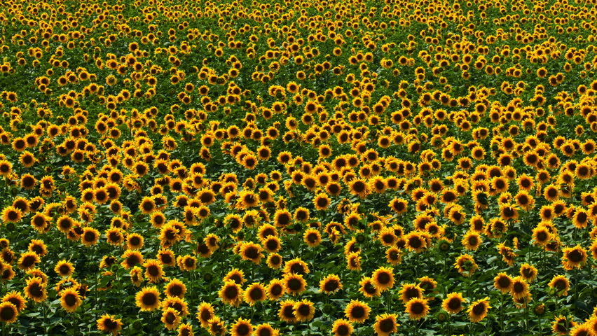 Flying Over Sunflower Field 2 Free Stock Video Footage Download