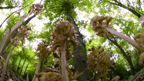 LA MS Insect (Insecta) flying around and perching on Bird's-nest orchid (Neottia nidus-avis) / Kuala Lumpur, Malaysia (June, 2012)