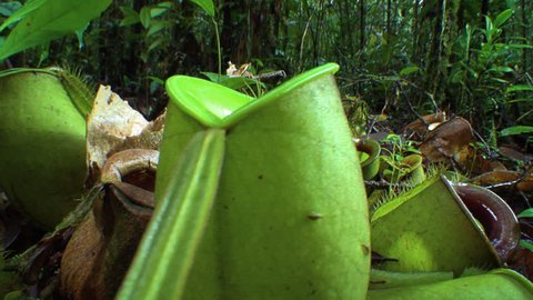 MS DS Nepenthes pitcher plant (Nepenthes ampullaria) in jungle / Sarawak, Borneo (November, 2012 - Sarawak, Borneo)
