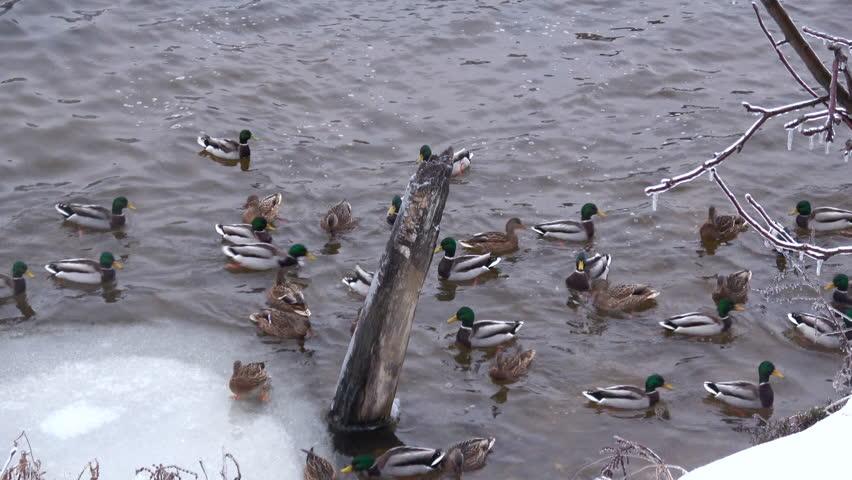 Wild ducks in a winter laker