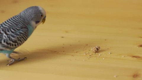 Budgerigar (Melopsittacus undulatus) several times and goes to the appropriate part of the ear, and then takes it.