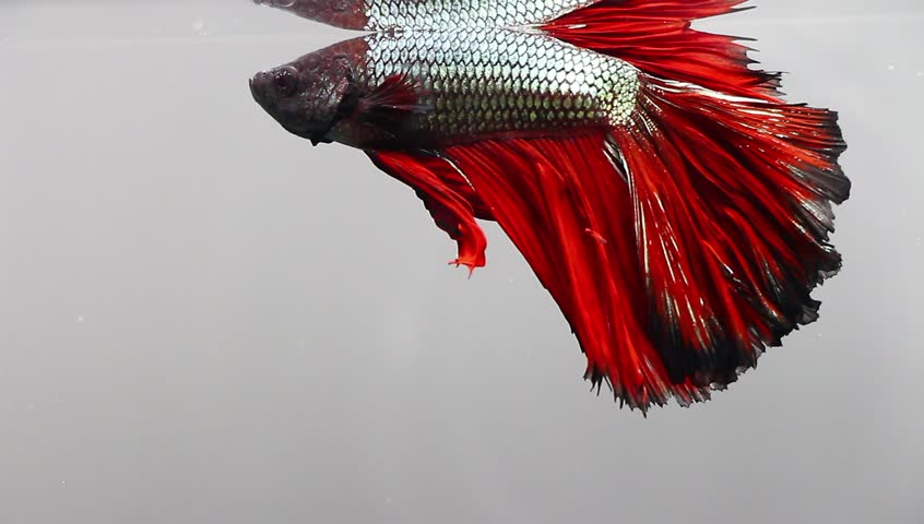 BLACK Charcoal BETTA FISH SAVED From Pet Supermarket!
