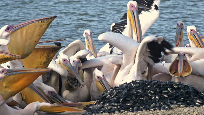 Header of Pelicans