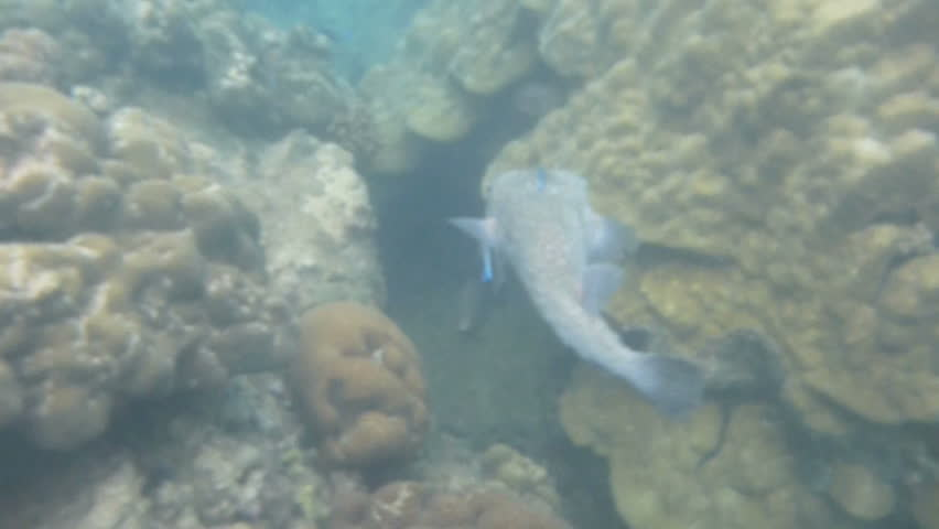 Cute spot-fin porcupinefish with cleaner fish around it swimming through the coral reefs of the Indian Ocean around Seychelles islands