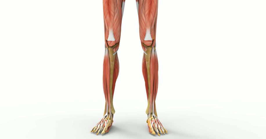 Leg Muscles Anatomy3d Stock Footage Video 100 Royalty Free