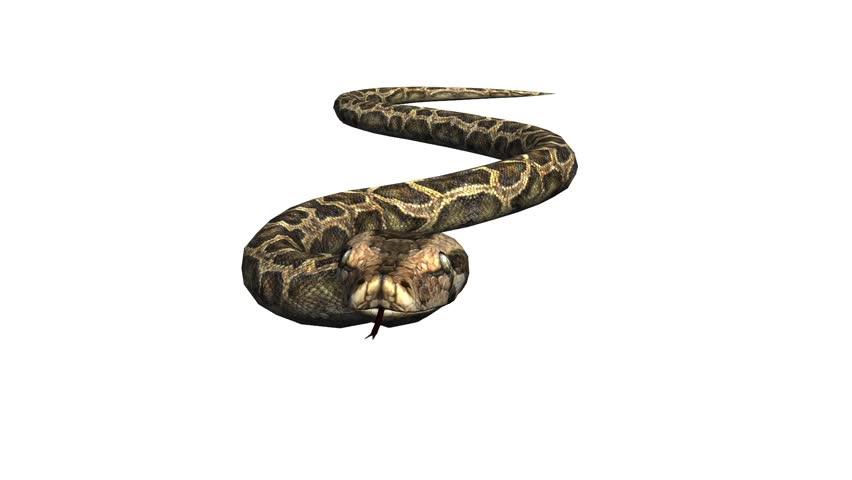 Snake & jungle carpet python crawling swimming,sliding decorative non venomous,wild animal herpetology background.  cg_01944