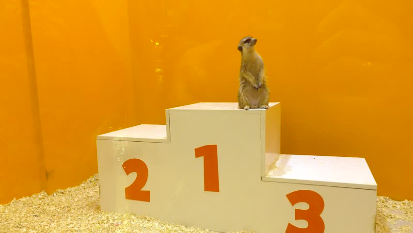Funny meercat standing at first place on victory podium. Leader, victory and winning concepts. 4K video