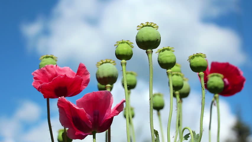 Hd0020the Papaver Red Flowers And Poppy Seed Pods Close Up On