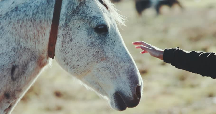 Woman hand petting white horse head Lifestyle animal and people friendship Travel concept