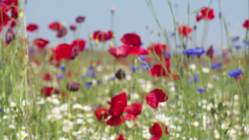 Poppy flowers camomile and blue stock footage video 100 royalty poppy flowers camomile and blue gladiolus on the spring field blue sky wind mightylinksfo