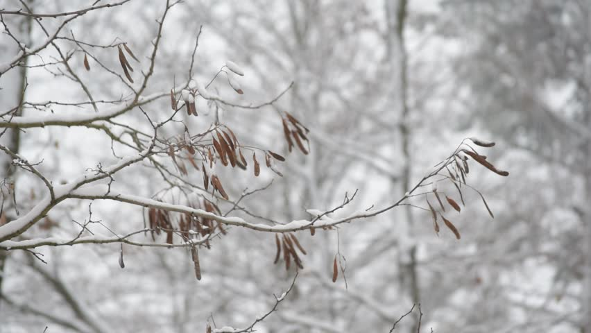 Winter in forest. Robinia pseudoacacia. Branch of black locust tree with thorns and legume seed fruits trembling in wind in winter on bright background with white snow and other trees.