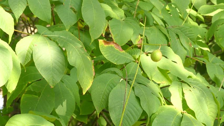 Header of Aesculus parviflora